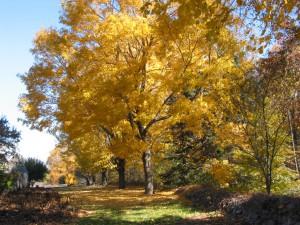 Fern Vista - Acer saccharum