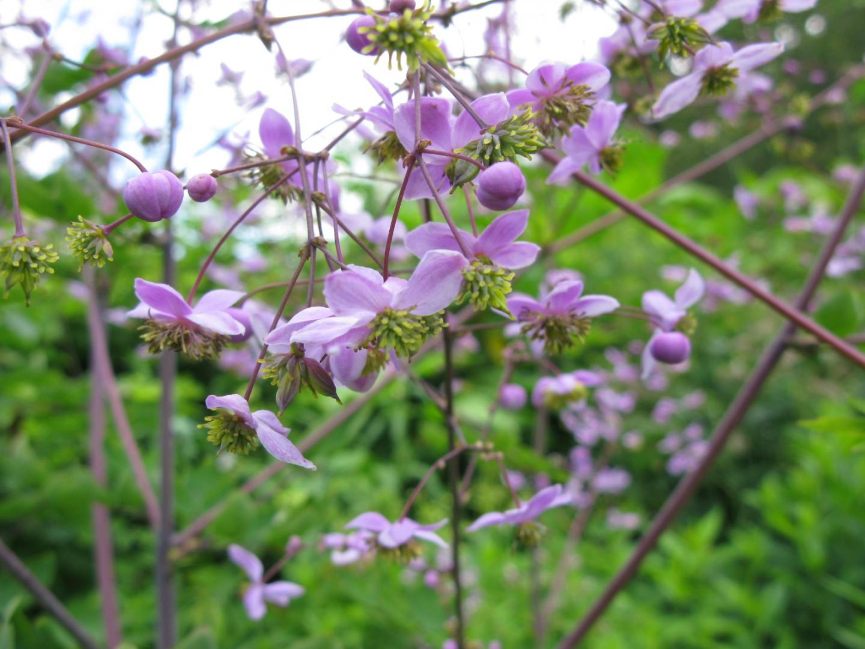 Garden & Patio Thalictrum rochebruneanum